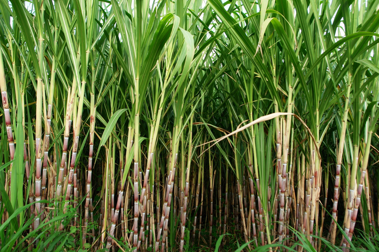 Top 10 Highest Sugarcane Producing Countries