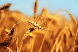 Top 10 Highest Barley Producing Countries
